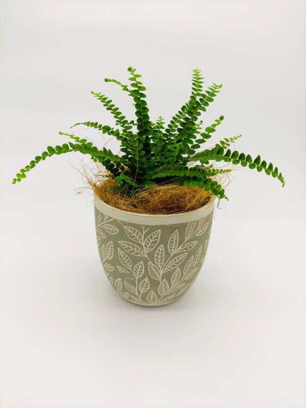Indoor fern scaled
