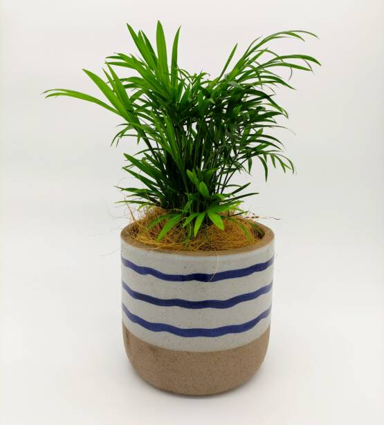 Palor Palm scaled