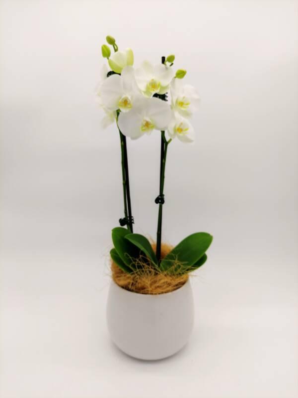 Phalaenopsis scaled